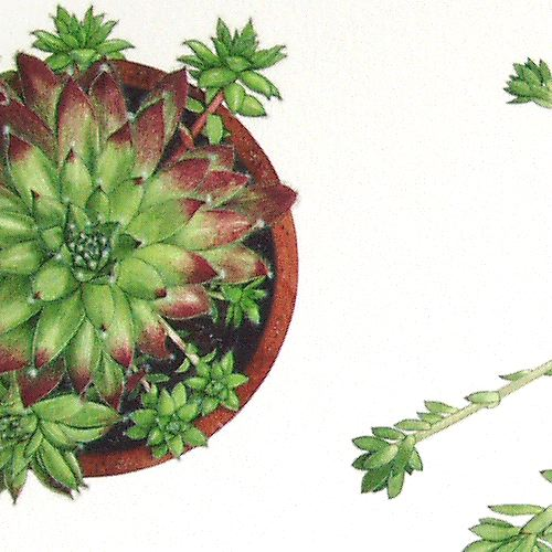 Sempervivum - detail